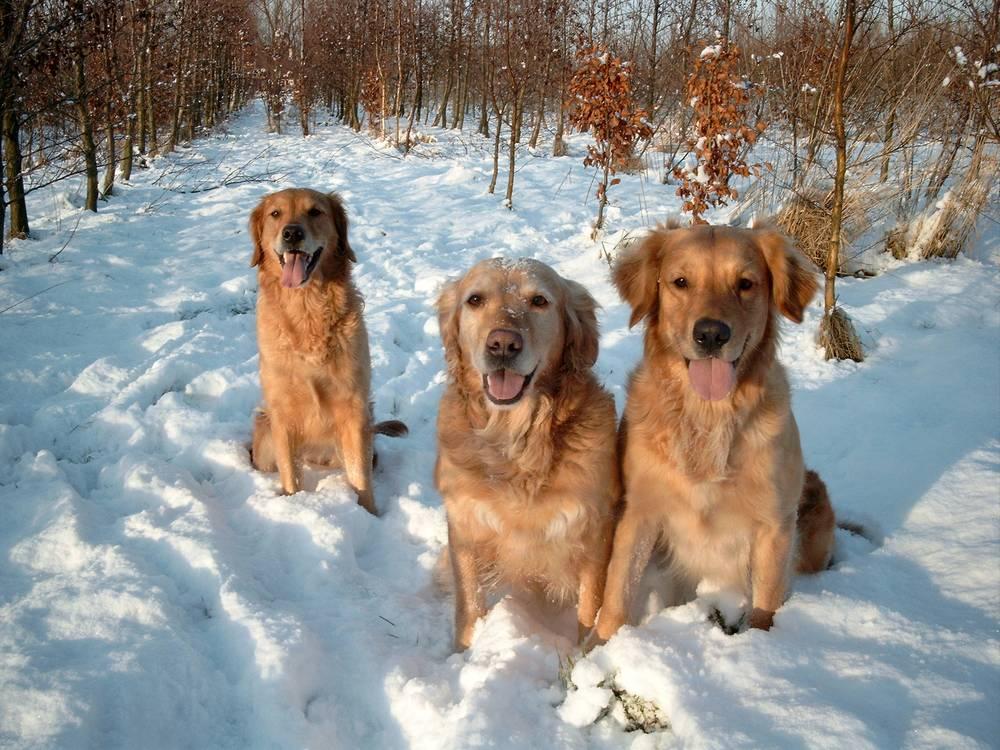 Dogilike.com :: 4 สายพันธุ์น้องหมาแห่งอลาสก้า กับภารกิจช่วยเหลือชีวิตมนุษย์
