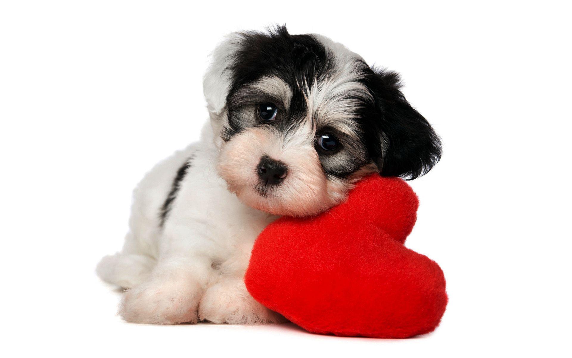 Dogilike.com :: ภาพ หัวใจ ของน้องหมาจากฟิล์มเอ็กซเรย์เป็นอย่างไรกันนะ