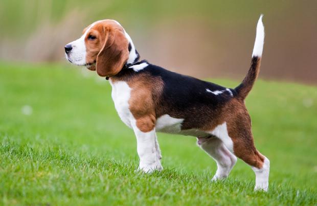 Dogilike.com :: 5 น้องหมาพันธุ์ขนสั้นที่ได้รับความนิยมเลี้ยงในเมืองใทย