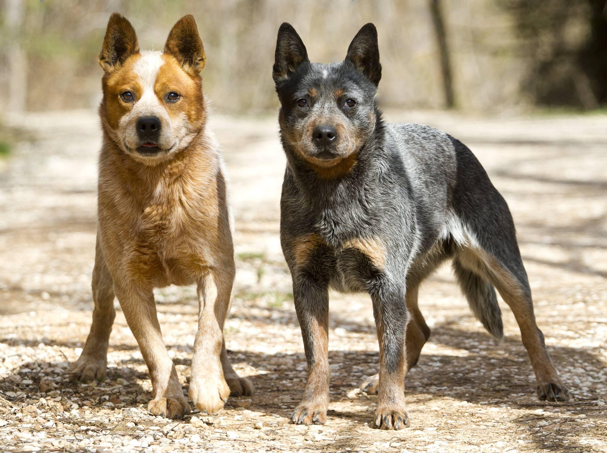 Dogilike.com :: เจาะลึก!! หมาพันธุ์ต่าง ๆ ในแถบเมืองร้อนทั่วโลก