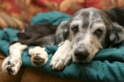 Dogilike.com :: 4 สัญญาณบ่งบอกว่า น้องหมากำลังเป็นโรคข้อสะโพกเสื่อม