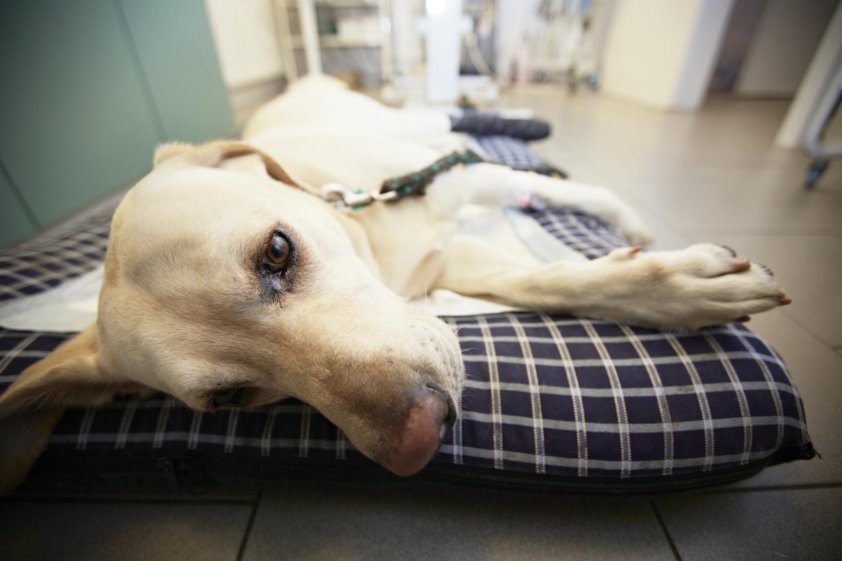 Dogilike.com :: แจกวิธีการดูแลน้องหมาป่วยโรคไวรัสลำไส้อักเสบติดต่อ