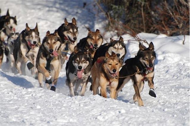 Dogilike.com :: ตามติดชีวิตหนาวสุดขั้วของน้องหมาลากเลื่อน