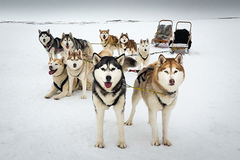Dogilike.com :: รู้จัก 4 หน้าที่สำคัญของน้องหมาในดินแดนหิมะ