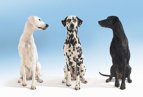 Dogilike.com :: จริงหรือที่ว่า  น้องหมาพันธุ์ผสมมีสุขภาพแข็งแรงกว่า ?