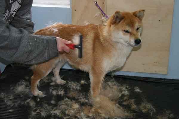 Dogilike.com :: 8 เรื่องที่คุณอาจไม่เคยรู้เกี่ยวกับน้องหมาชิบะ