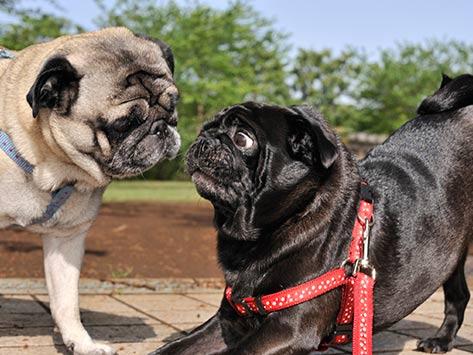 Dogilike.com :: เผยความลับติดเรทของน้องหมา ... ขึ้นขี่กันแปลว่าอยากผสมพันธุ์อย่างเดียวหรือ?