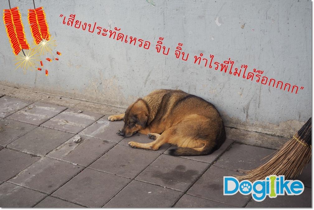Dogilike.com :: อัพสกิลสายแข็งให้น้องหมา ... ฝึกยังไงให้ไม่กลัวเสียงพลุ!!