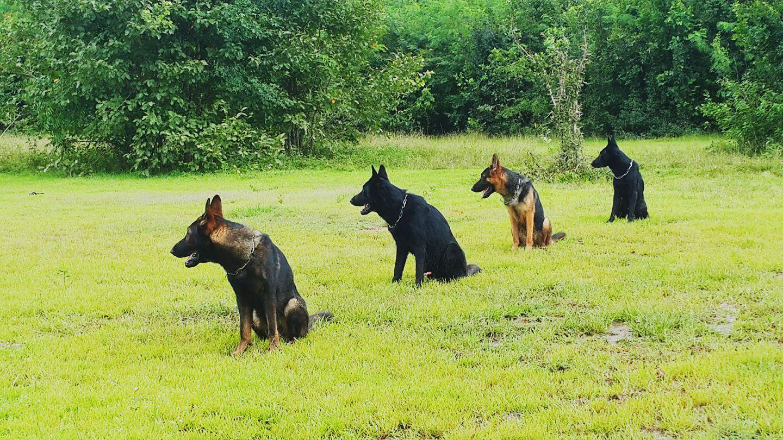Dogilike.com :: กว่าจะมาเป็น K9 น้องหมาฮีโร่สี่ขาผู้กล้าหาญ