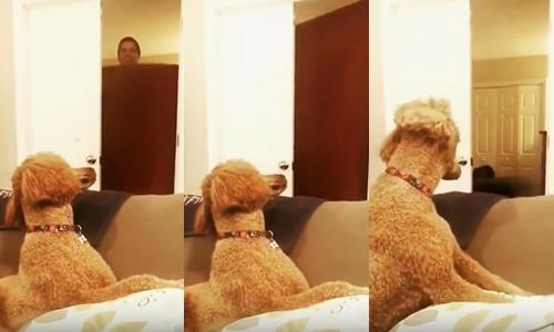 Dogilike.com :: ไขข้อสงสัยจากคลิปสุดฮา ... เจ้าของแกล้งหายตัว น้องหมาไม่รู้จริง ๆ หรือว่าเจ้าของหายไป