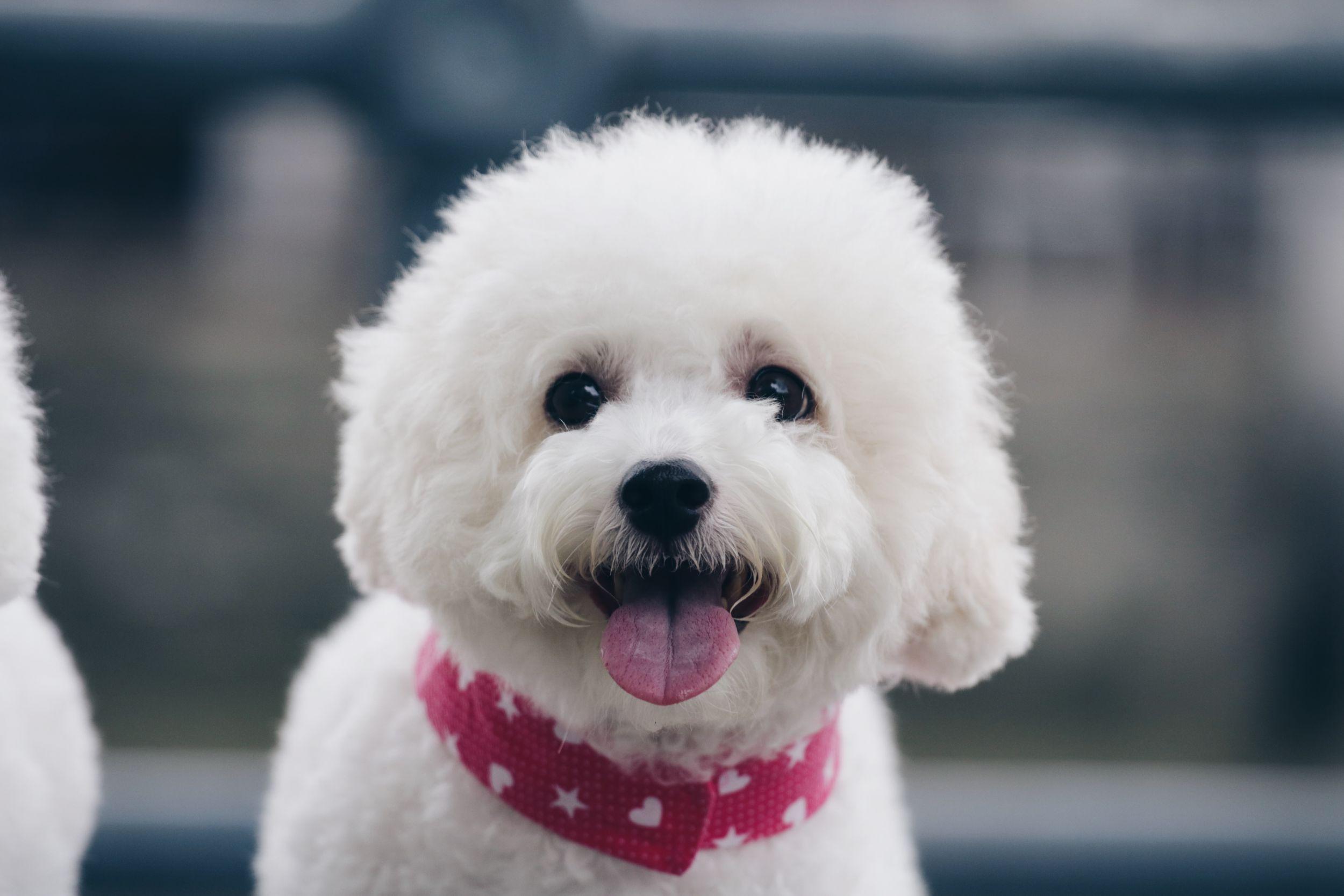 Dogilike.com :: รวมสายพันธุน้องหมาขนขาว ที่สาวกรี้ดมากที่สุด