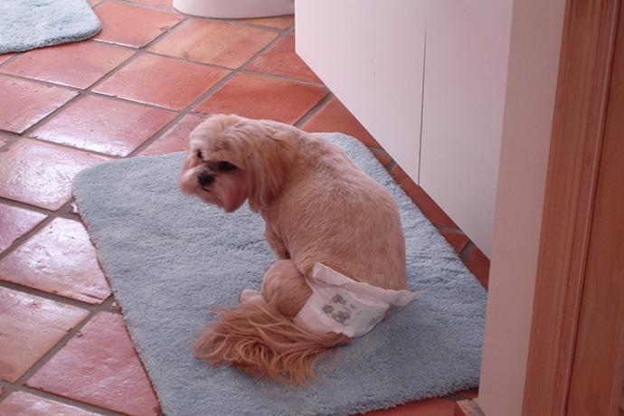 Dogilike.com :: สงสัยไหม น้องหมาก็ต้องใส่แพมเพิร์สได้ด้วยเหรอ?