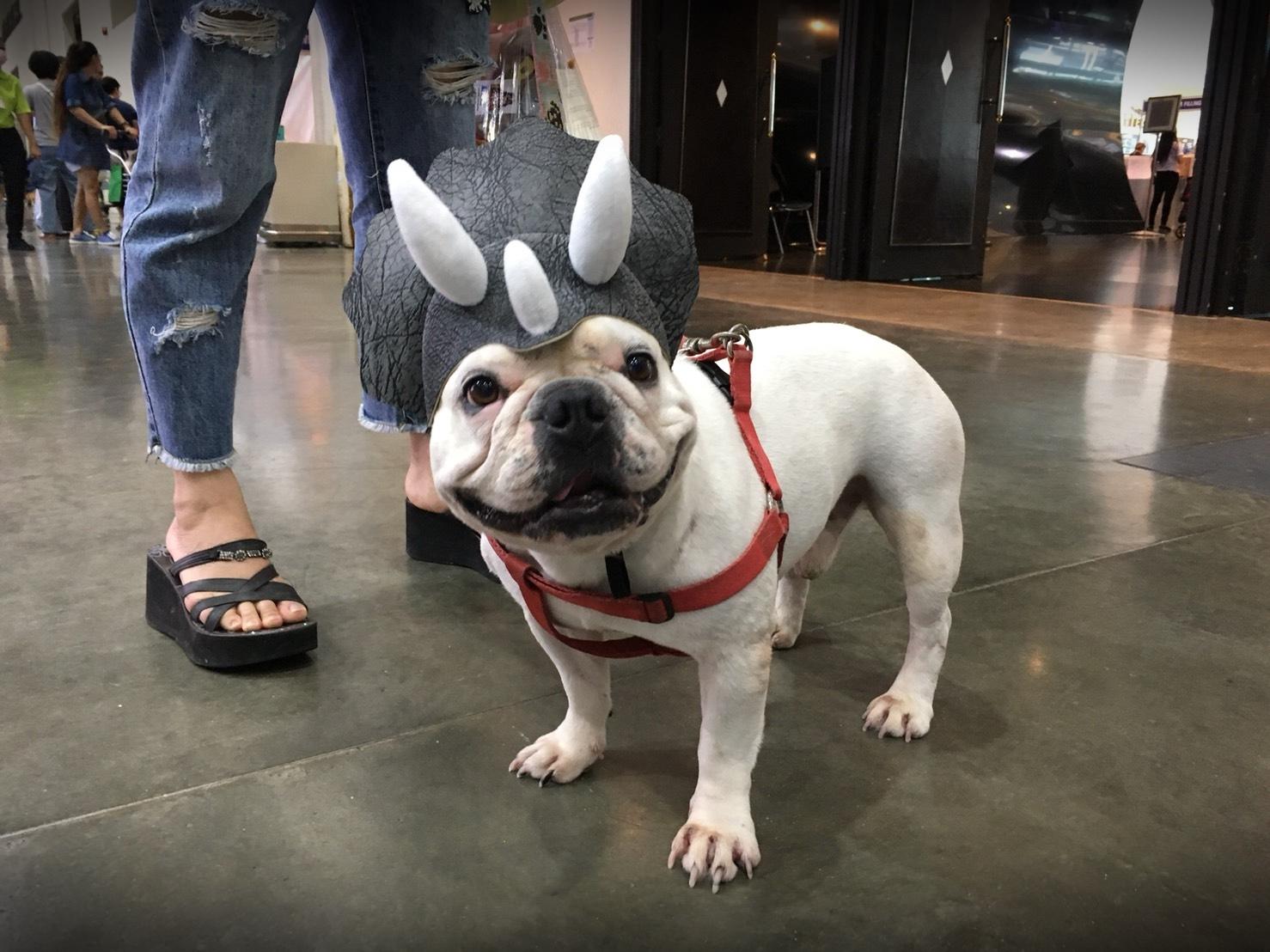 สุนัขเฟรนช์บูลด็อกใส่หมวกไดโนเสาร์