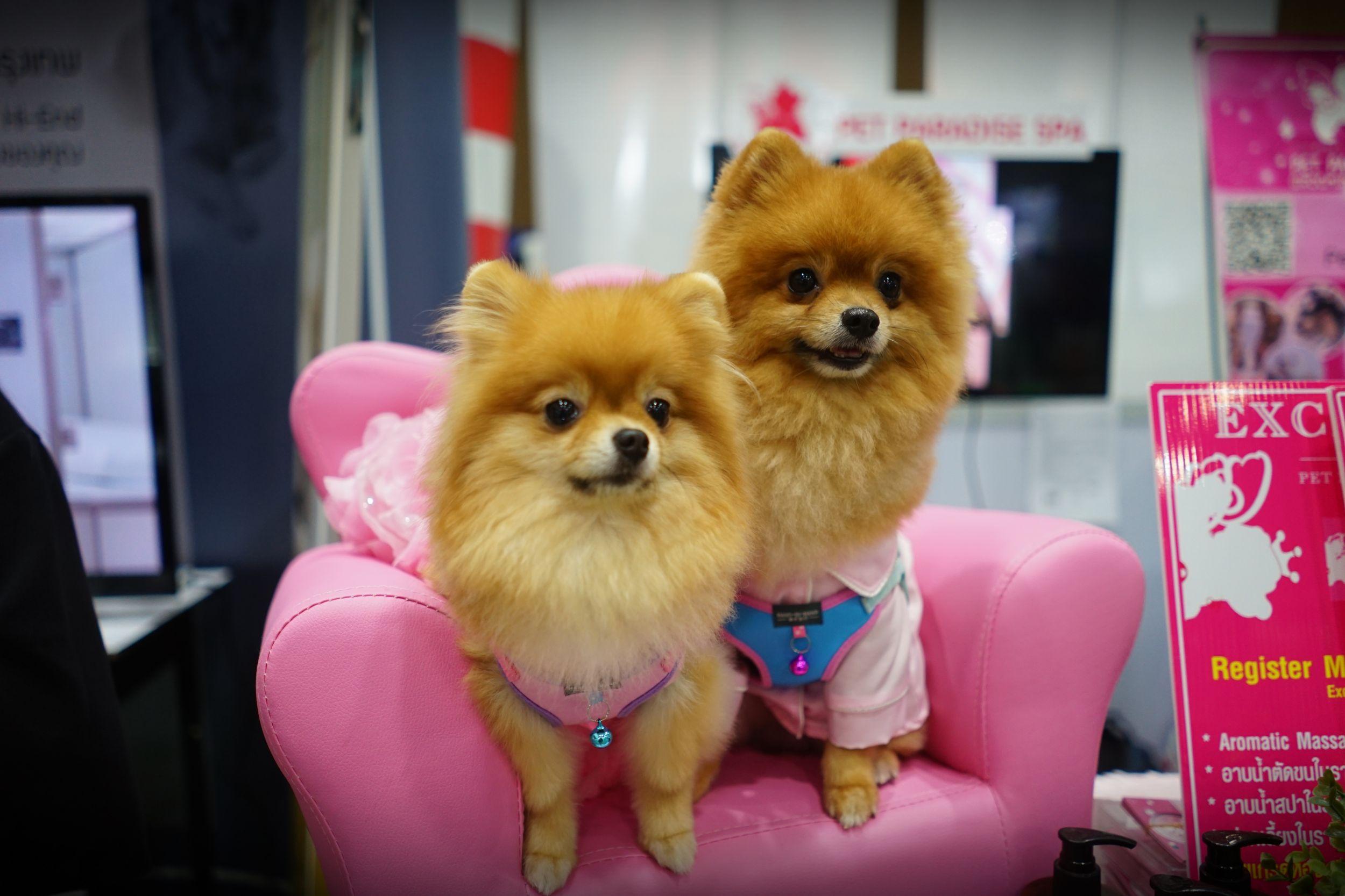 สุนัขพันธุ์ปอมเมอเรเนียนขนฟูสองตัวนั่งอยู่บนเก้าอี้สีชมพู