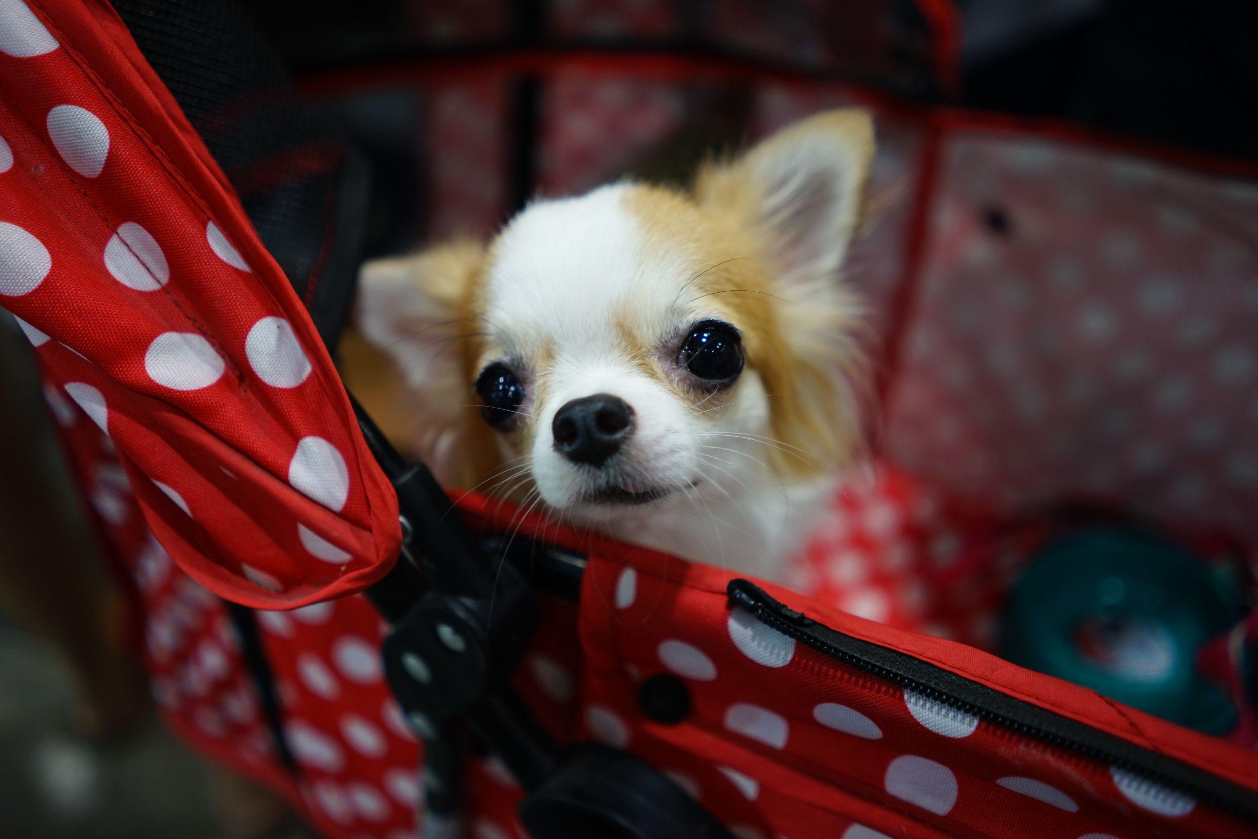 สุนัขชิวาวาตาแป๋วสีขาวลายน้ำตาลโผล่หัวออกมาจากรถเข็น