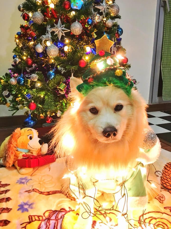 Dogilike.com :: รวมภาพน้องหมากับคอสตูมสุดคิ้วท์ในวันคริสมาสต์