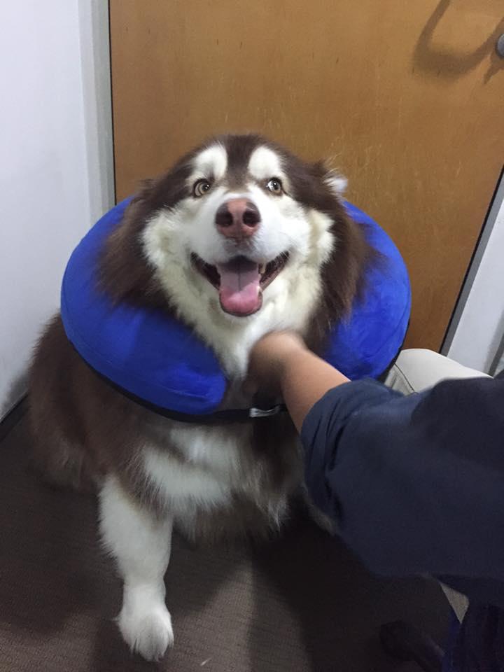 Dogilike.com :: สัมภาษณ์พิเศษ ... จินหลง อลาสกันอวบอั๋นน่าฟัด ขวัญใจโซเชียล
