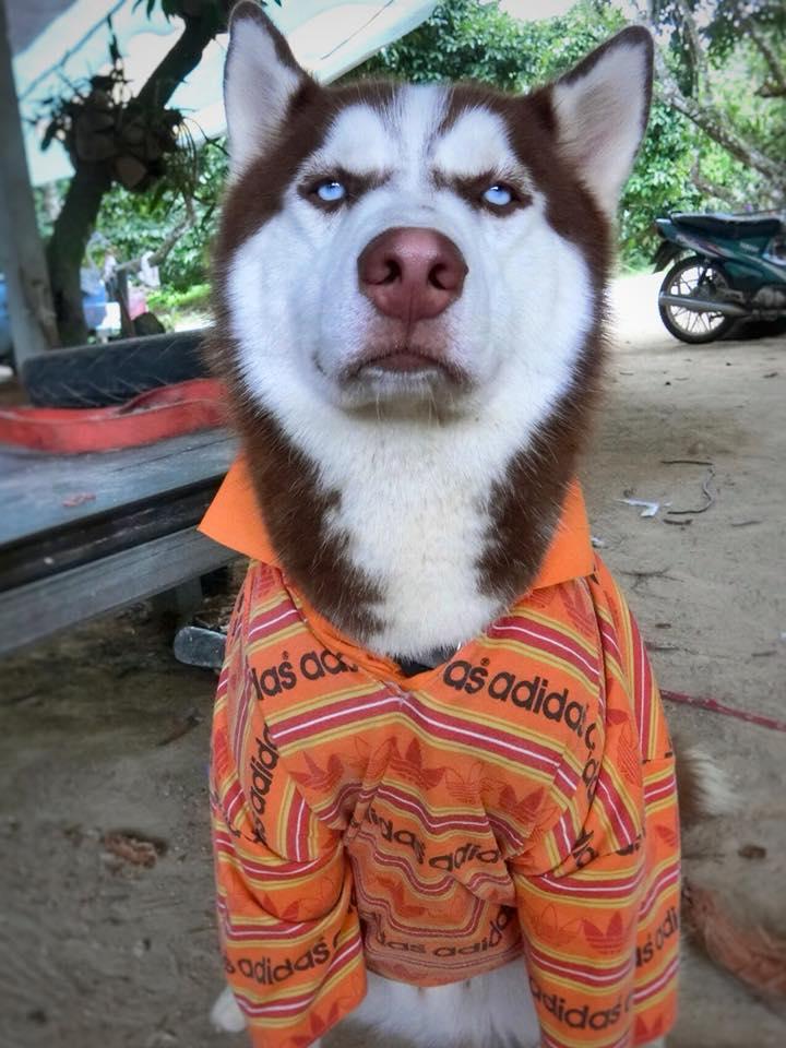 Dogilike.com :: สัมภาษณ์พิเศษ ... ฮิวโก้ ไซบีเรียนหน้ามึนสุดกวน