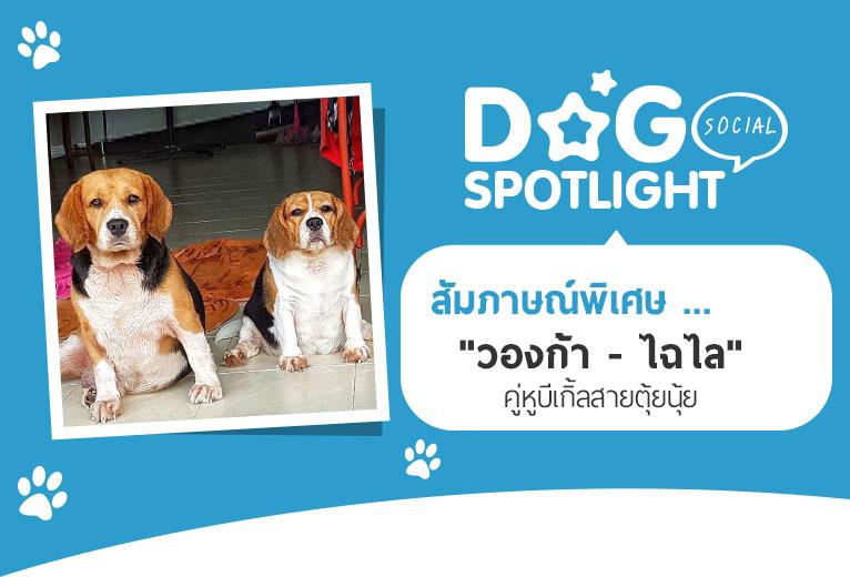 Dogilike.com :: สัมภาษณ์พิเศษ ... วองก้า - ไฉไล คู่หูบีเกิ้ลสายตุ้ยนุ้ย