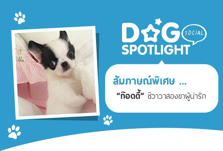 Dogilike.com :: สัมภาษณ์พิเศษ ... ก๊อดดี้ ชิวาวาสองขาผู้น่ารัก