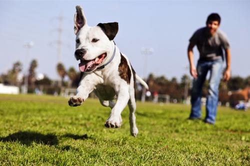 Dogilike.com :: จัดอันดับ 5 สิ่งที่คน(คิดจะ)เลี้ยงพิทบูลต้องรู้