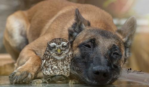 Dogilike.com :: น่ารักละลายใจ! เมื่อสุนัขตัวโตเป็นเพื่อนกับนกฮูกตัวน้อย