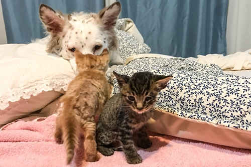Dogilike.com :: เรื่องราว เจ้า Lulu ตูบพี่เลี้ยงผู้คอยดูแลลูกแมวก่อนส่งต่อให้บ้านใหม่ !