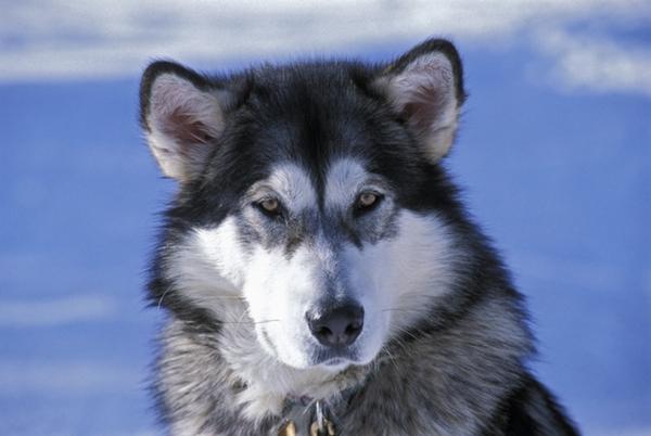 Dogilike.com :: จัดอันดับ 5 สายพันธุ์สุนัขที่อยู่บ้านลำพังได้ เจ้าของหายห่วง