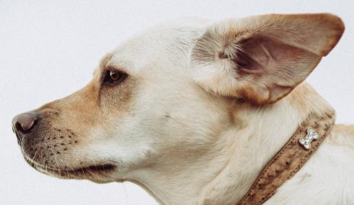 Dogilike.com :: เจาะลึกเรื่อง หู หู ของน้องหมา พร้อมวิธีดูแลฉบับมืออาชีพ!