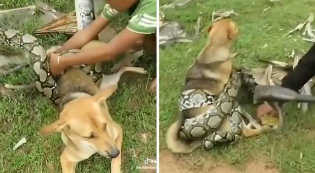 Dogilike.com :: หัวใจจะวาย! 3 หนุ่มพยายามช่วยตูบที่โดนงูใหญ่ยักษ์รัดจนเกือบตาย (มีคลิป)