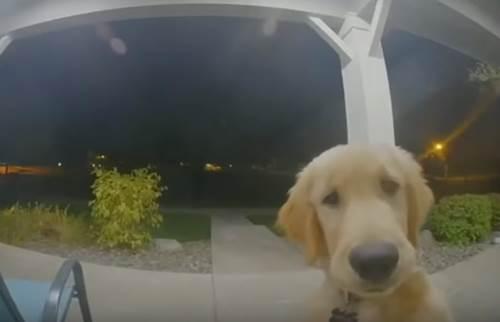 Dogilike.com :: โกลเด้นฯตัวแสบหนีออกไปเล่นนอกบ้าน ขากลับรู้งานกดกริ่งให้คนช่วยเปิด! (มีคลิป)