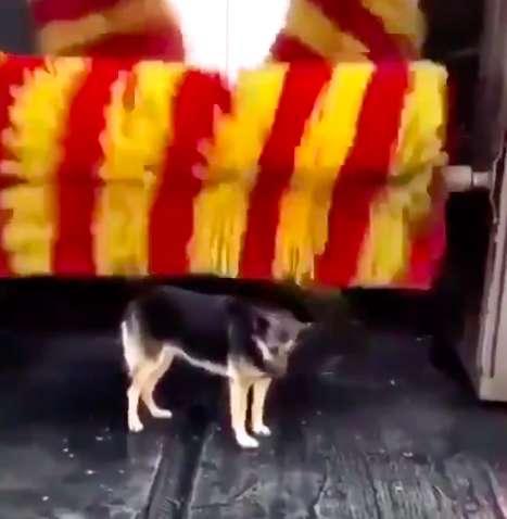 Dogilike.com :: เจ้าตูบจรจัดเดินไปร้านล้างรถทุกวัน เพื่อทำสิ่งนี้ ! (คลิป)