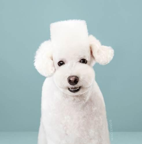 Dogilike.com :: น่ารักเกินไปแล้ว! 7 ภาพ Before & After น้องหมาที่ถูกตัดขนสไตล์ญี่ปุ่น