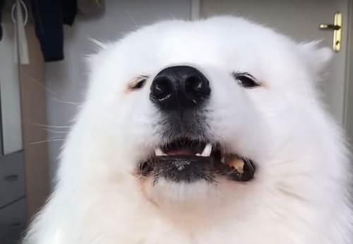 Dogilike.com :: หยิบหูฟังด่วน! เมื่อซามอยด์ขอรีวิวอาหาร มันก็จะฟินๆ ประมาณนี้