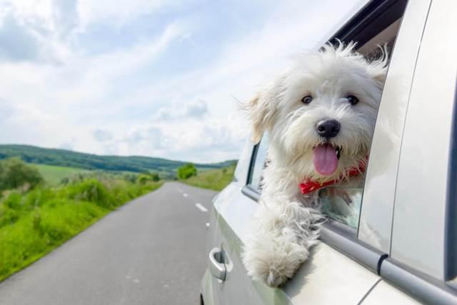 Dogilike.com :: คู่มือดูแลน้องหมาเมารถ พร้อมวิธีป้องกันแบบง่าย ๆ ที่เจ้าของต้องรู้ !