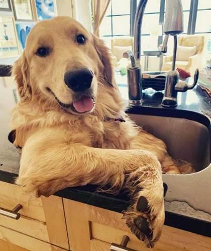 Dogilike.com :: ติดอ่าง! ชาวเน็ตเอ็นดูเจ้าโกลเด้นฯ ผู้ชอบอาบน้ำในอ่างล้างจานตั้งแต่เด็กๆ