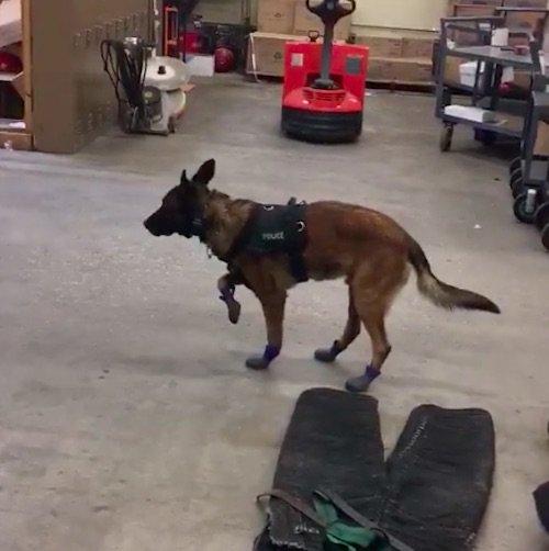 Dogilike.com :: แห่แชร์คลิปน่ารัก! สุนัขตำรวจมาดหลุด หลังได้ลองใส่รองเท้าคู่ใหม่