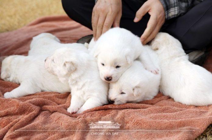Dogilike.com :: น่ารักยกครอก! ผู้นำเกาหลีใต้อวด 6 ลูกหมาตัวจิ๋วเชื่อมไมตรีจากคิม