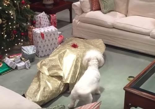 Dogilike.com :: หนุ่มเจ้าของห่อตัวเองเป็นของขวัญให้ตูบ ผลก็เลยออกมาเป็นแบบนี้!