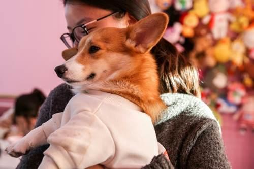 Dogilike.com :: จีนผุด Hello Corgi คาเฟ่น่ารักมุ้งมิ้งเอาใจคนรักคอร์กี้