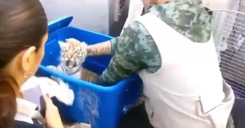 Dogilike.com :: สุนัขดมกลิ่นช่วยชีวิตลูกเสือวัย 2 เดือน หลังถูกวางยาสลบใส่กล่องเตรียมส่งไปรษณีย์