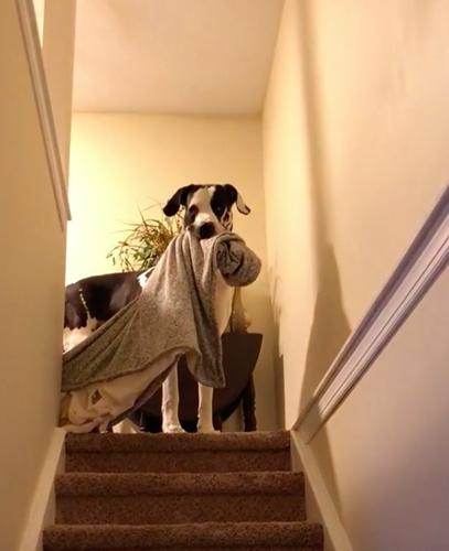 Dogilike.com :: แม่จ๋าหนูติดผ้าห่ม! เจ้า Floyd เกรทเดนตัวโตที่มีผ้าห่มติดตัวไปด้วยทุกที่