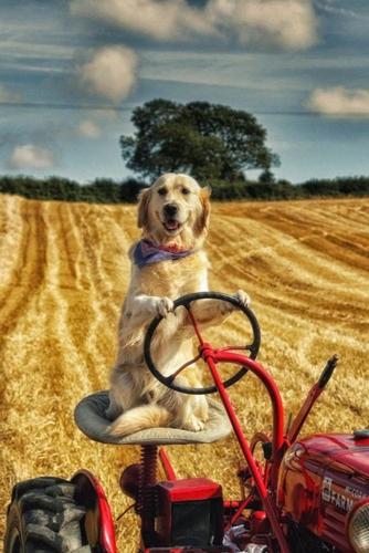 Dogilike.com :: รู้จักเจ้า Rambo โกลเด้นฯบ้านนา ช่วยเจ้าของขับรถไถดูแลฟาร์ม !