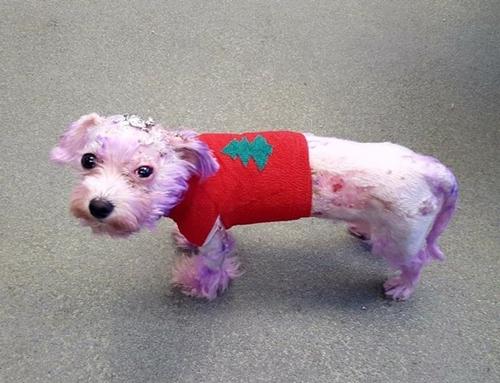 Dogilike.com :: สุดสงสาร! สุนัขเกือบตายหลังเจ้าของใช้น้ำยาย้อมผมของคนย้อมขนให้