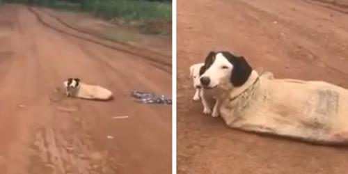 Dogilike.com :: สุดสงสาร! พบแม่หมากับลูกๆ ถูกมัดในถุงกระสอบทิ้งกลางถนนห่างไกลในบราซิล