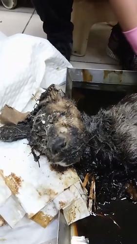 Dogilike.com :: พบสุนัขถูกราดด้วยน้ำมันดิน ก่อนทิ้งให้ตายโดดเดี่ยวในไต้หวัน !