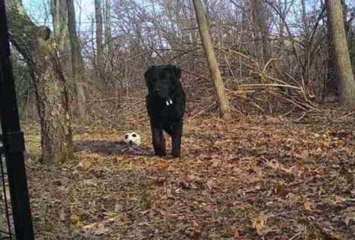 Dogilike.com :: ลาบราดอร์ตัวนี้หลุดจากคลินิกสัตว์ ก่อนพบใช้ชีวิตลำพังในป่าตลอด 1 ปี !