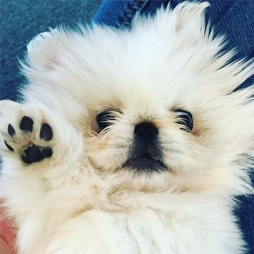 Dogilike.com :: อุ๋งๆ! เจ้า Mushu น้องหมาปักกิ่งที่ใครๆ ก็บอกว่า เหมือนแมวน้ำ