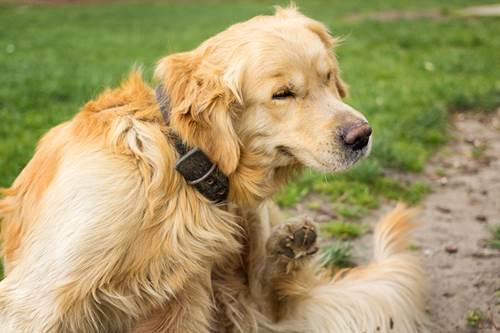 Dogilike.com :: 6 โรคจากเห็บหมัด พิษสงร้ายอันตรายต่อเจ้าตูบ