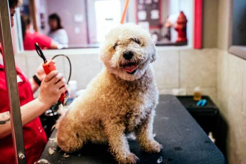 Dogilike.com :: เจาะใจน้องหมา โดนไถขนแล้วขาดความมั่นใจจริงเหรอ?